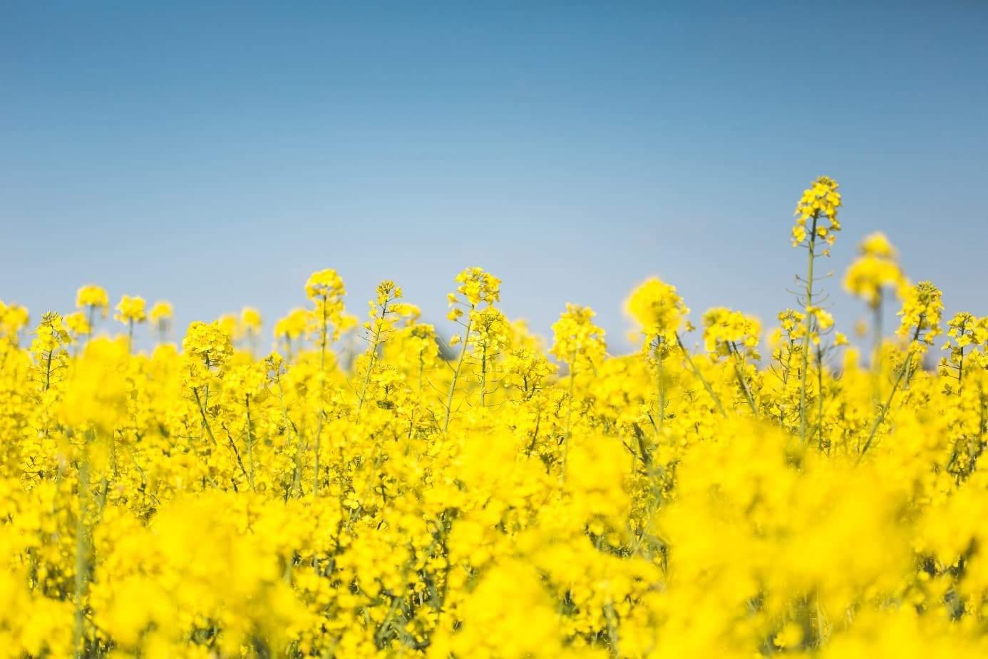 Czym jest rafinacja oleju rzepakowego?